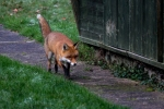 Fox in the Garden - Jan 2013-24